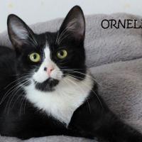 Photo de ORNELLA - Chat Femelle Européen
