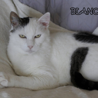 Photo de BLANCO - Chat Mâle Européen