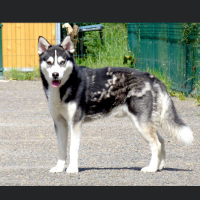 Photo de Alpha - Chien Mâle Husky Sibérien