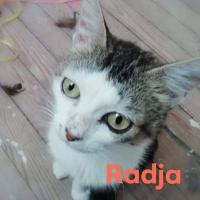 Photo de Radja - Chat Femelle Européen