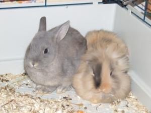 Avec mon frère, Choco, on est encore un peu timide - Lapin