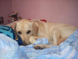 Loulou ki fais son malheureux - Labrador Retriever