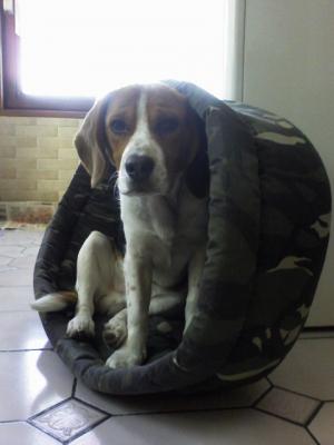 Au panier! - Beagle
