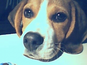 Dakotah (4 mois) - Beagle