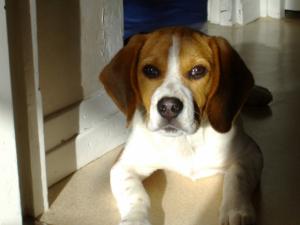 Dakotah (5 mois) - Beagle