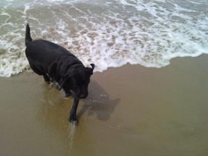 la plage - Labrador Retriever