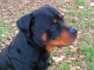 Photo0020 - Rottweiler