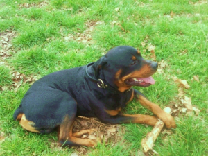 Photo0168 - Rottweiler