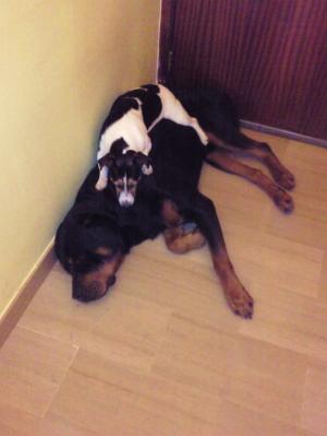 Photo0483 - Rottweiler