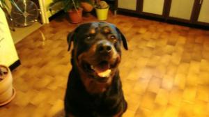 _t_2009_030 - Rottweiler