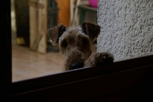 Thésée 1 - Airedale Terrier