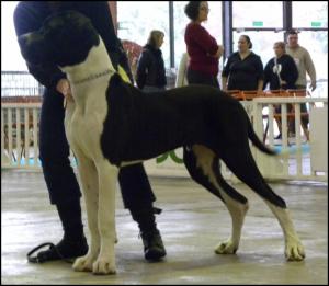 Chouchou en expo à Nantes . Tres prometteur en classe pupy - Dogue Allemand