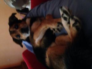 Photo de l'animal n°36075 - Airedale Terrier