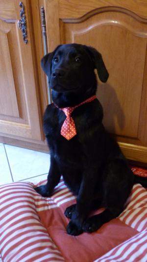 Photo de l'animal n°39060 - Labrador Retriever