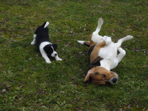 moi et ma petite copine Hysis - Beagle