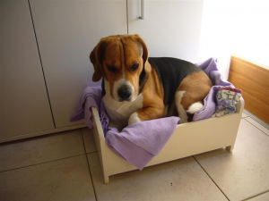 un peu petit ce lit ? tant pis ! - Beagle