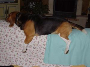 j'adore jouer à chien perché ! - Beagle