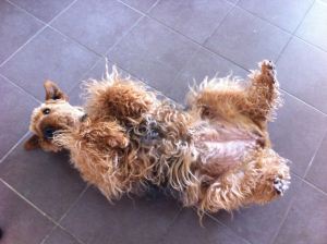 Photo #272955 de VANDA - Airedale Terrier