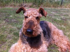 Photo #272956 de VANDA - Airedale Terrier