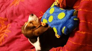 Photo #274577 de Molly - Beagle