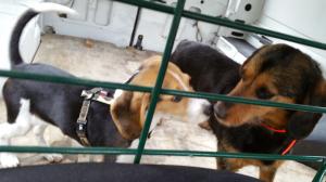 Photo #274578 de Molly - Beagle