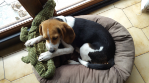 Photo #274580 de Molly - Beagle