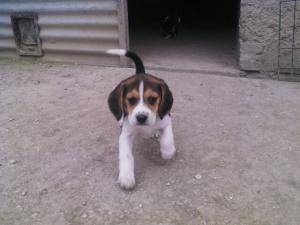 Photo #274582 de Molly - Beagle