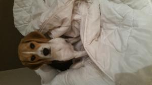 Photo #274585 de Molly - Beagle