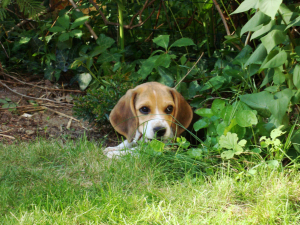 Photo #275429 de Loky - Beagle