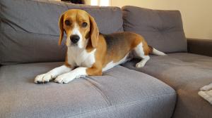 Photo #275997 de Lizzy - Beagle