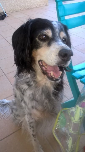 Ma gentille fifille - Setter Anglais