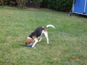 Fripouille en plein de jeux de ballon - Beagle