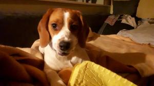 Ma tornade <3 - Beagle