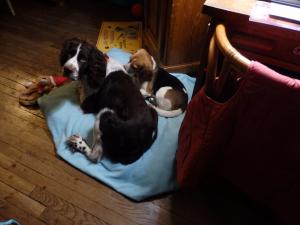 fripouille avec son copain yvoire - Beagle