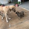 Respecte les chiots paternellement, s'assure que sa domination soit acceptée avec les autres chiens (mâles à soumettre), bave d'envie sur les femelles...
