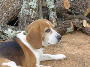 Mon bébé - Beagle