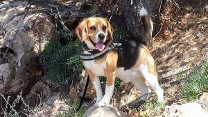- - Beagle