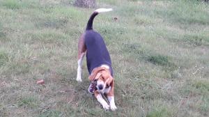 Photo #278739 de LEMKA - Beagle