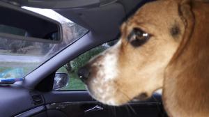 Photo #278743 de LEMKA - Beagle