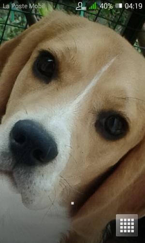 portrait - Beagle