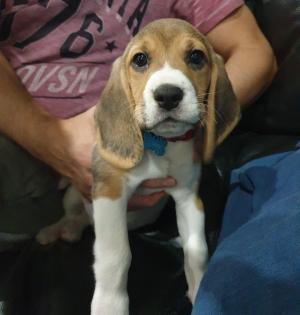 Photo #280146 de Penny - Beagle