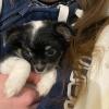 Sven Chihuahua de 2 mois même pas