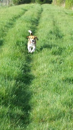 Amoureux des balades - Beagle