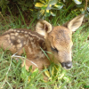 Photo de Bambi