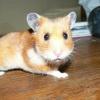 Photo de Hamsterette
