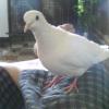 Photo de Mes colombes ...ange et kiki
