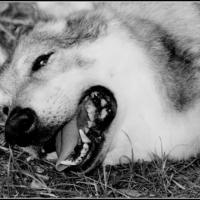 Photo de profil de Wolf