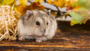 """Illustration de la catégorie """"Hamster"""""""