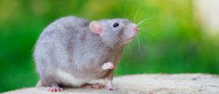 Illustration : L'achat d'un rat