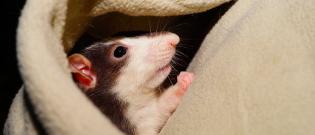 Illustration : L'habitat du rat